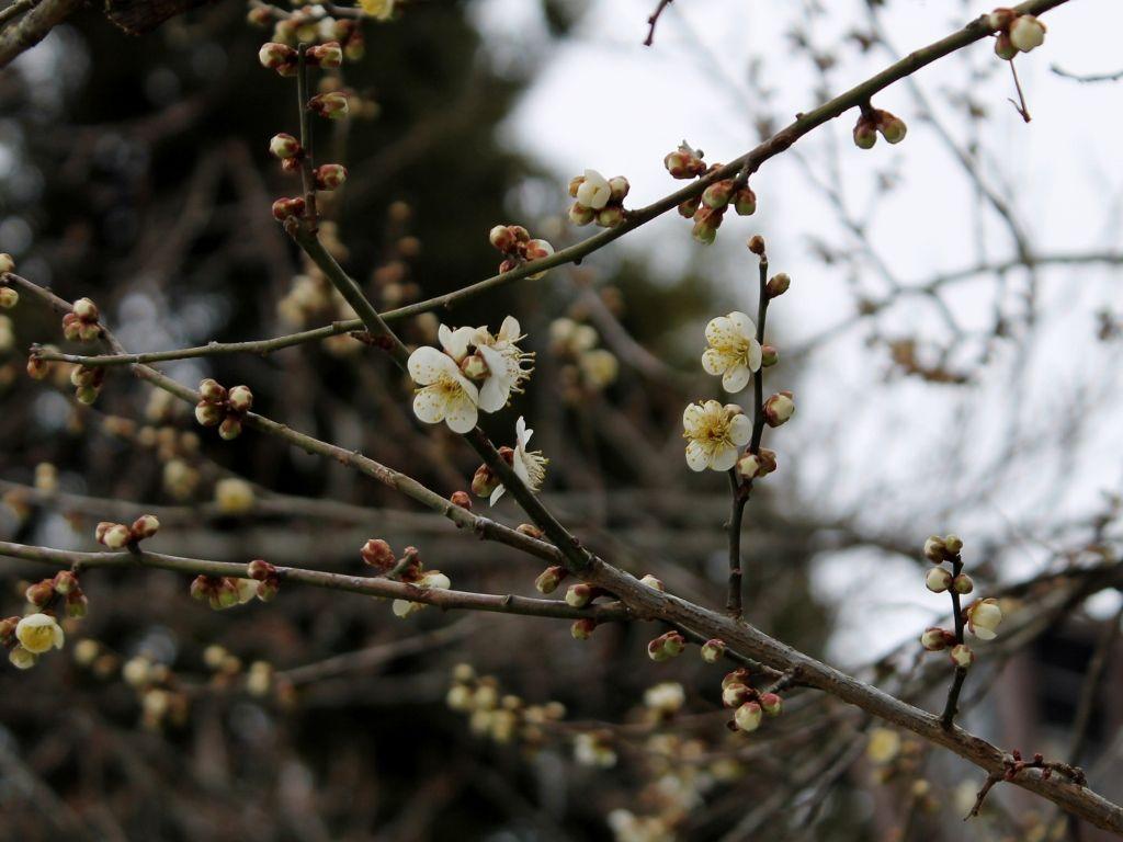 3千本の梅が花開く「偕楽園」