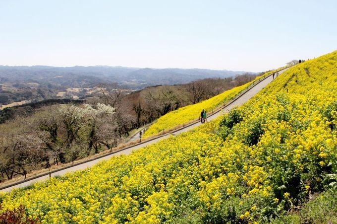 黄色の絨毯がお出迎え!千葉「マザー牧場」