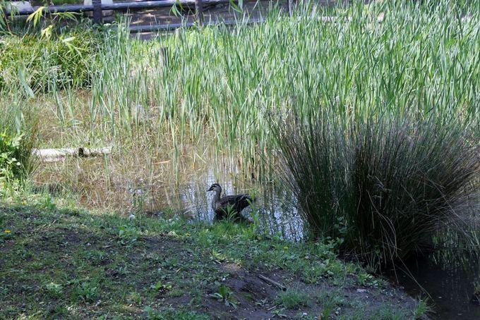 因幡の白兎の傷を治したガマが群生する「ガマの池」