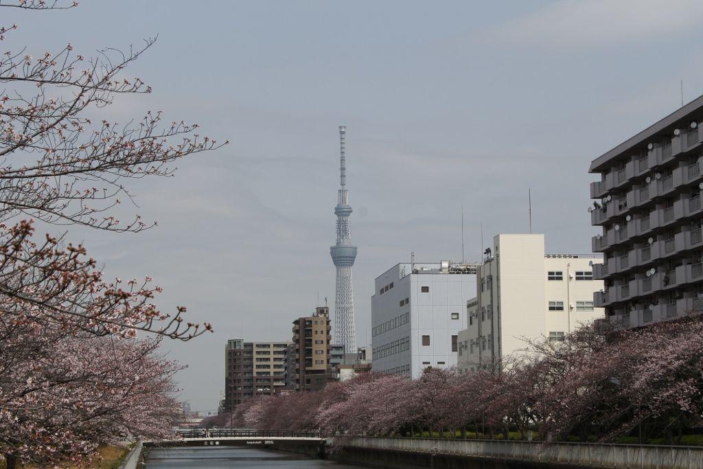 大横川沿いで楽しむ!『桜のトンネル&スカイツリービュー』
