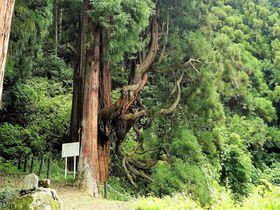 群馬県嬬恋村の隠れパワースポット!「鳴尾の熊野神社大杉」