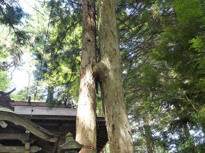 しっかりと結ばれたスギとケヤキの「縁結びの合体木」