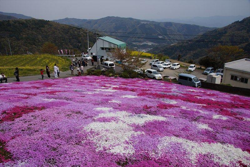山間集落に咲く三姉妹の花畑「脇町広棚」の芝桜