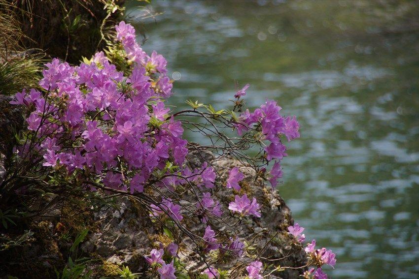 清流の岩肌に咲くツツジ