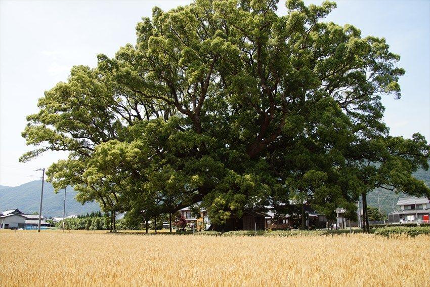 黄金色の麦畑の中に「加茂の大クス」が見られる5月下旬