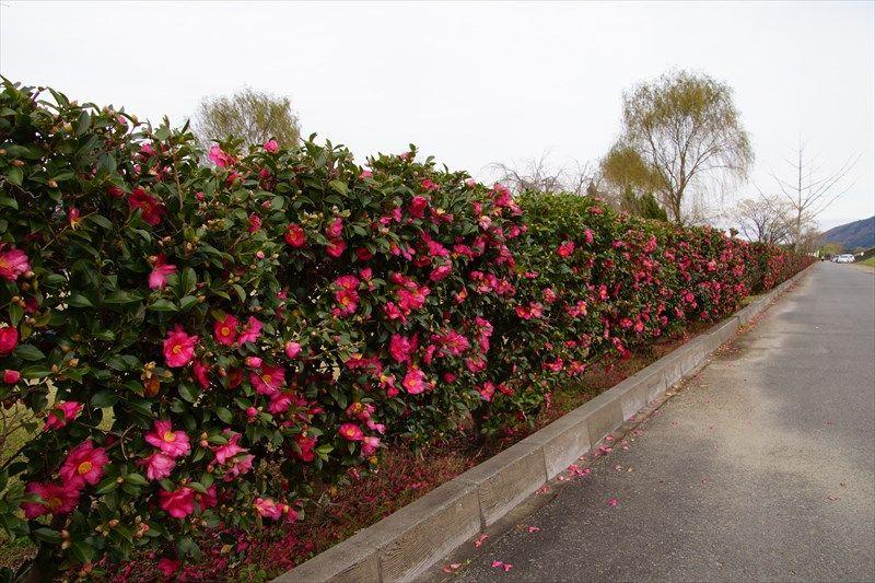「貞光ゆうゆう館」前の河川敷グランドで「花垣」を楽しむ