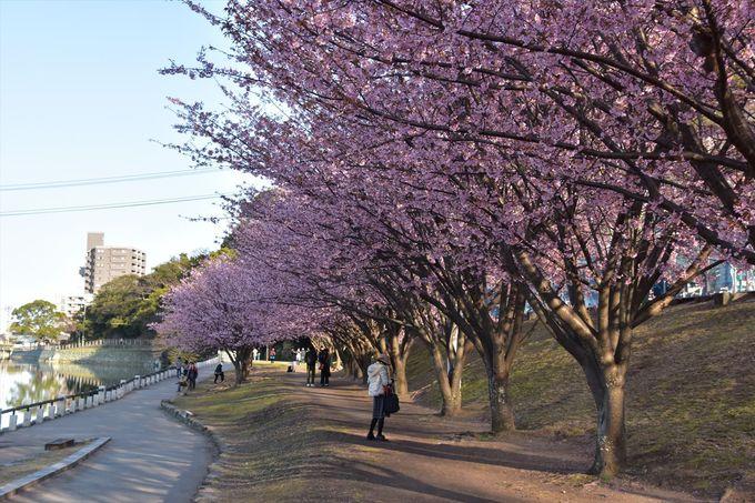 蜂須賀桜の花の下を散策