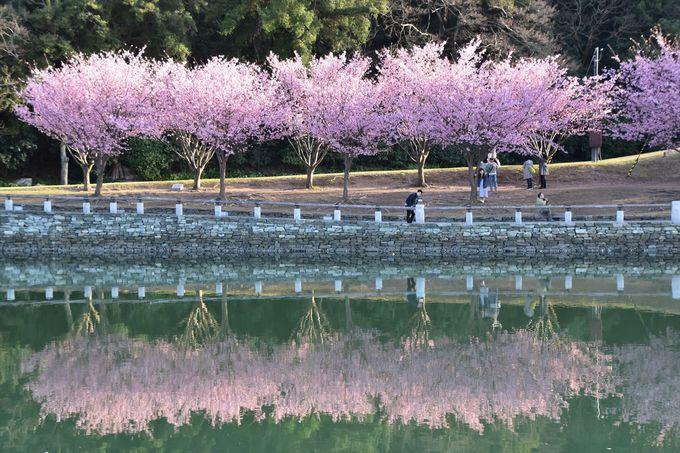 徳島ならではの蜂須賀桜(はちすかざくら)並木