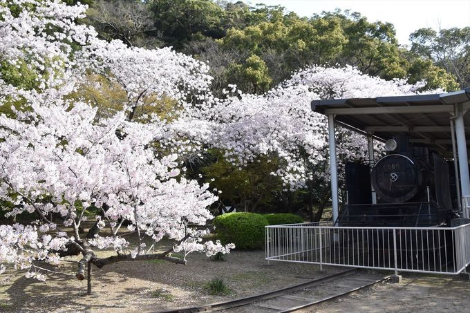 蒸気機関車と桜の共演も見られる