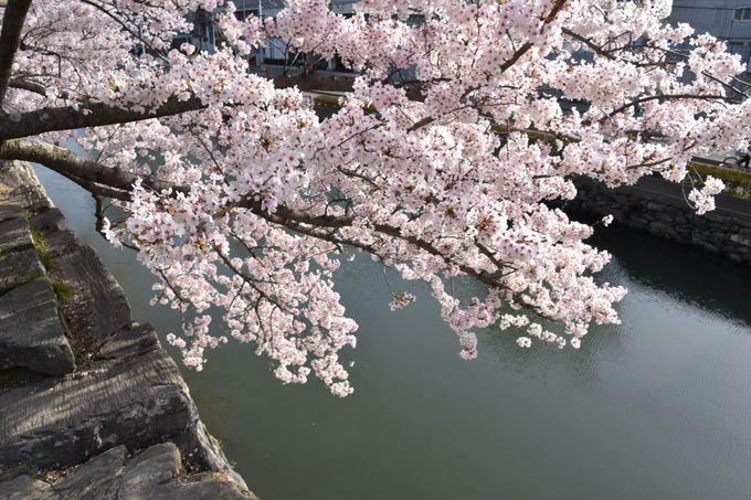 3月末はソメイヨシノのお花見スポット
