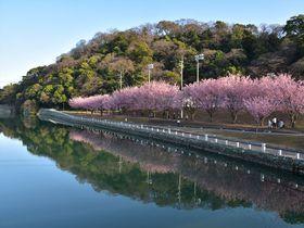 3月上旬からお花見!徳島中央公園で徳島藩主が愛でた蜂須賀桜を楽しむ