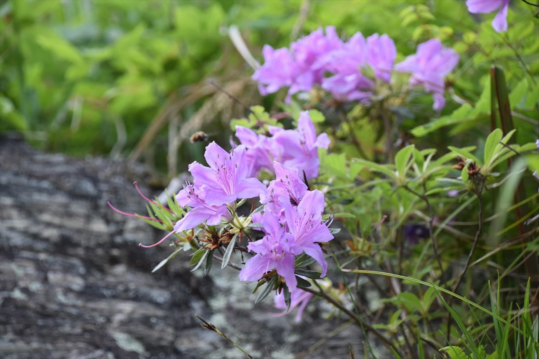 初夏、清流穴吹川の川岸に咲く花