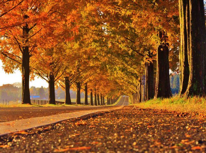 春夏秋冬美しすぎる「メタセコイア並木道」