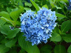 初夏の京都「三室戸寺」へあじさいの絶景を見に行こう