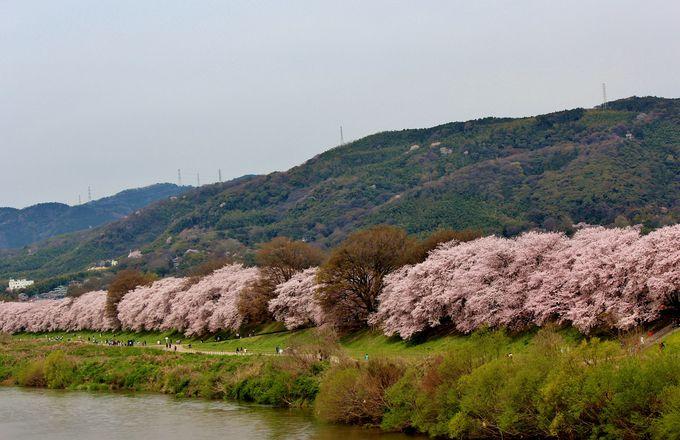 背割堤の桜並木を堪能しよう