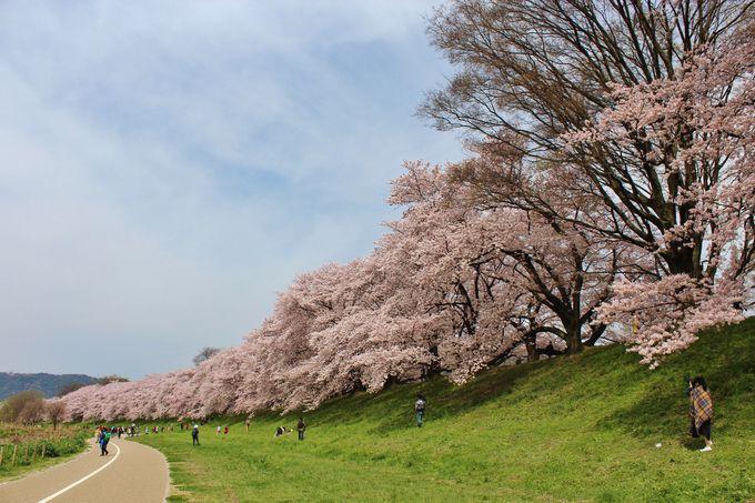 注目の桜名所!「背割堤(せわりてい)」