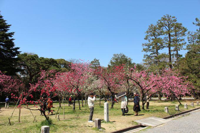 桜と桃だけじゃない、梅の名所でもある「京都御苑」
