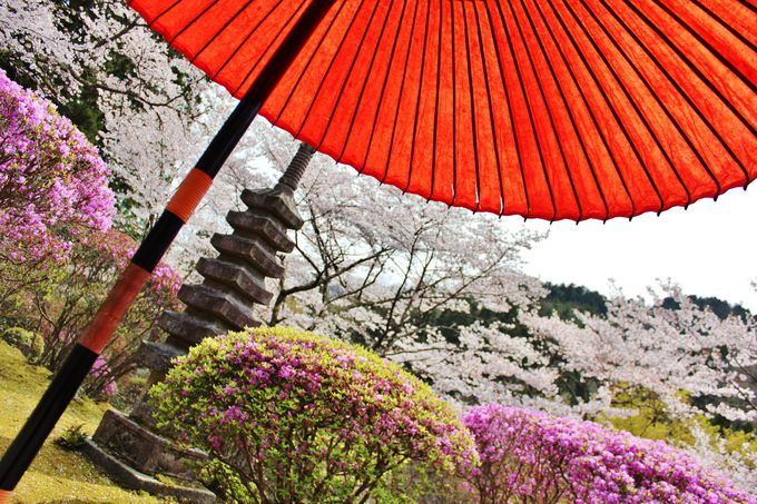桜が出迎える、春の白龍園