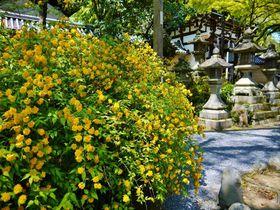 京都「松尾大社」は山吹の名所。黄金色に染まる境内が見事!