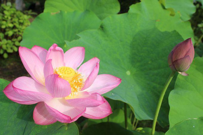 多種多様な蓮が咲く「法金剛院」は見頃が長い
