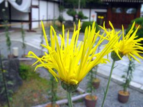 門外不出、王朝の菊を楽しむ。「大覚寺・嵯峨菊展」