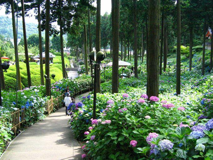 京の初夏を彩るあじさい園