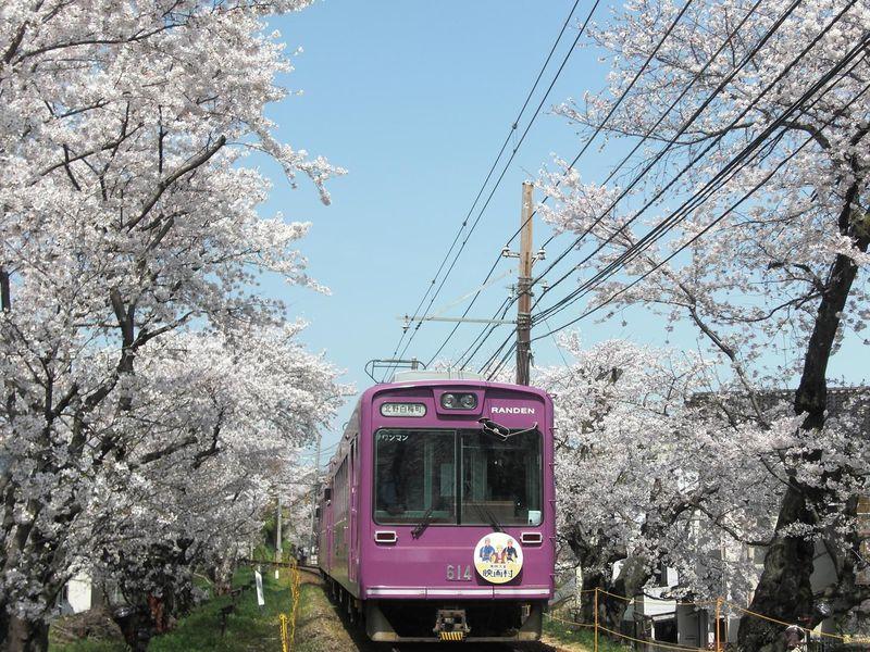 ライトアップも楽しめる!嵐電に乗って「桜のトンネル」をくぐろう!