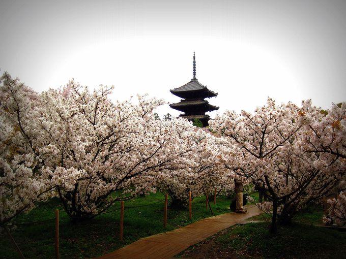 「御室桜」のその特徴とは・・・?