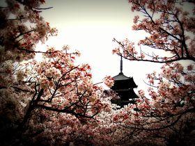 京都「御室仁和寺」遅咲きの御室桜を目線の高さで楽しもう!