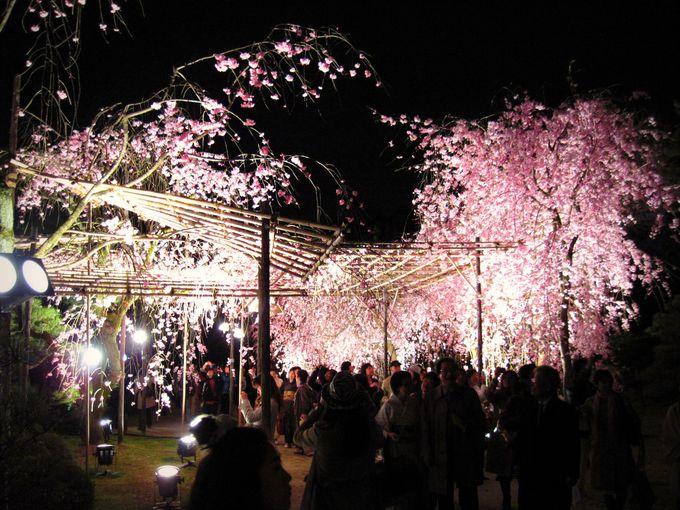 幽玄なり!夜桜と音楽の饗宴「平安神宮紅しだれコンサート」