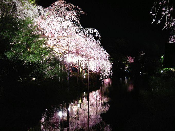 桜を楽しみつつ、コンサートも楽しむ