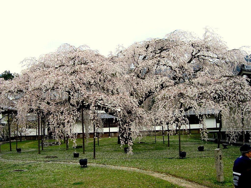 花見の起源!? 秀吉が最後に見た桜「京都・醍醐寺」