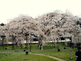 「醍醐の花見」は花見の起源!? 秀吉が最後に見た桜〜京都・醍醐寺