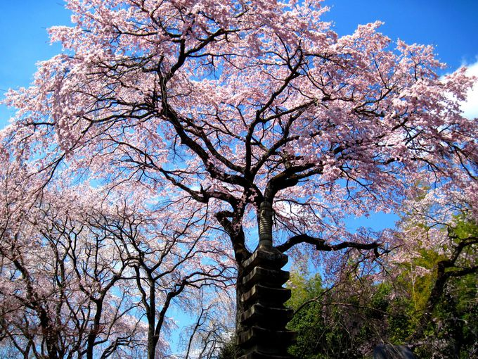 ザ・京都の桜!円山公園「祇園枝垂桜」の兄弟たち