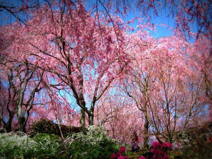 原谷苑の桜の見ごろとは?
