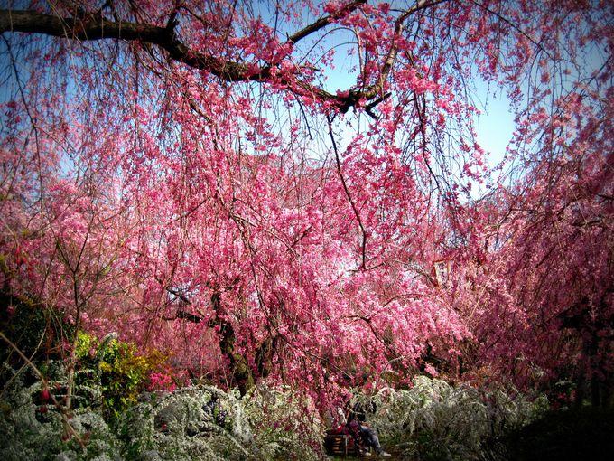 枝垂れ桜のジャングル!京都の穴場桜名所「原谷苑」
