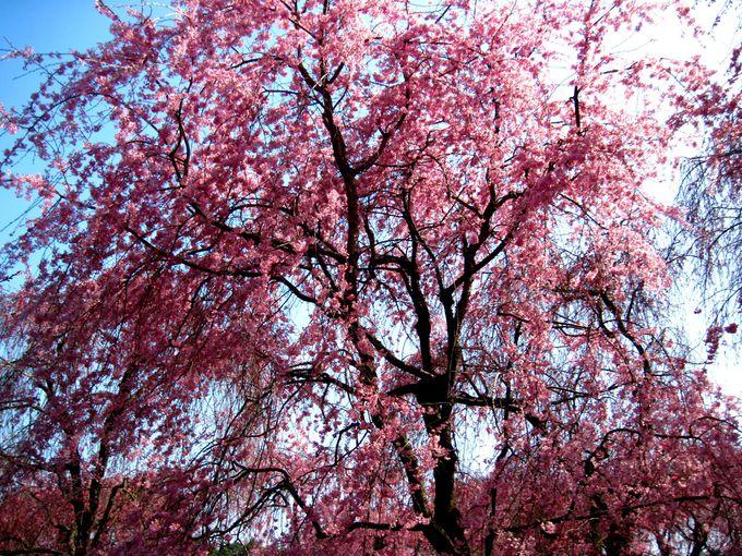 桜の穴場「原谷苑」とは?