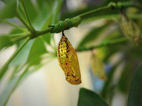 黄金の蛹!由布島で日本最大のチョウ「オオゴマダラ」を見よう!〜沖縄