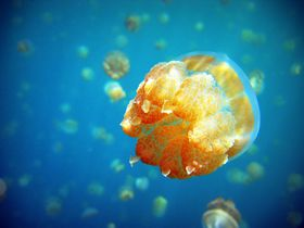 まるで宇宙遊泳!?パラオ『ジェリーフィッシュレイク』でクラゲと泳ごう!