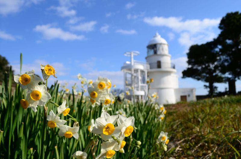 水仙が故郷を思い咲く!最古の石造灯台「樫野崎灯台」〜紀伊大島