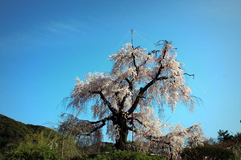 ザ・京都の桜!円山公園「祇園枝垂桜」の兄弟たちを巡ろう