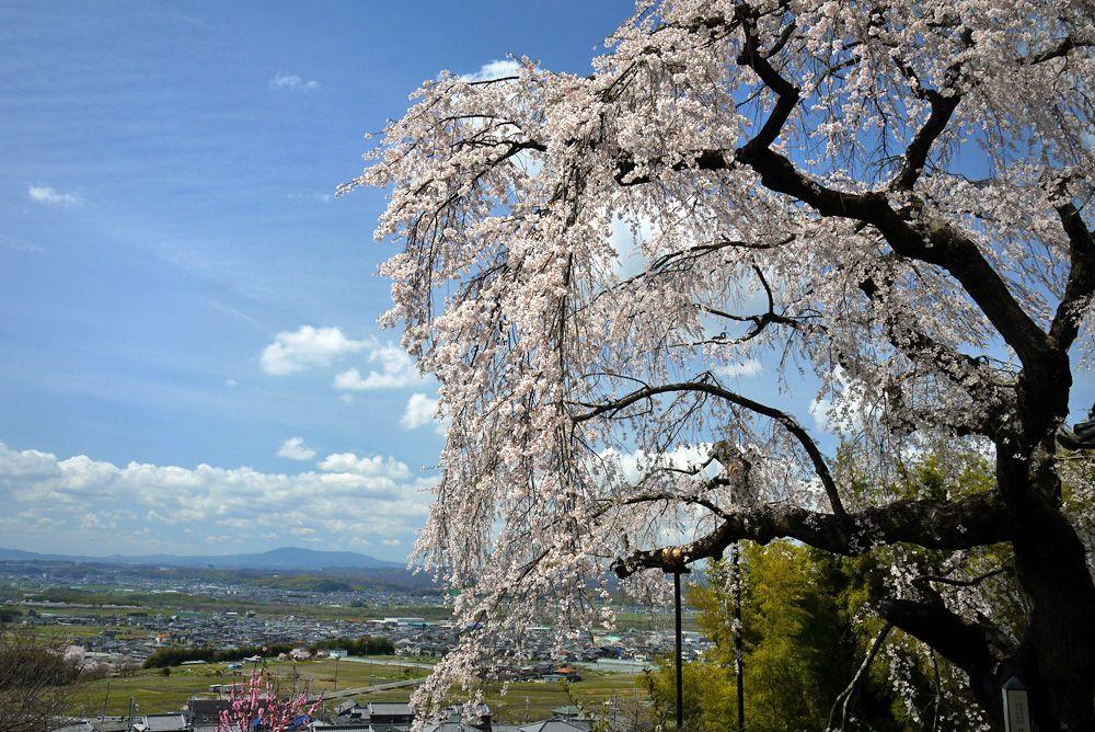 京都府井出町「地蔵禅院の枝垂桜」