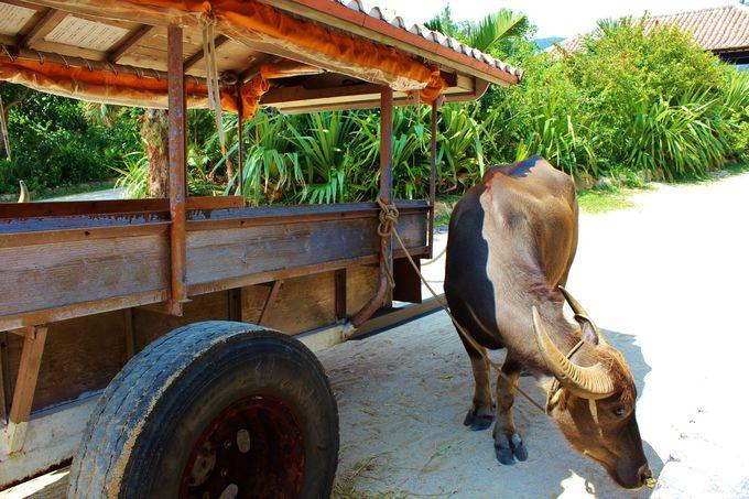 竹富島だけじゃない、水牛車に乗れる場所?