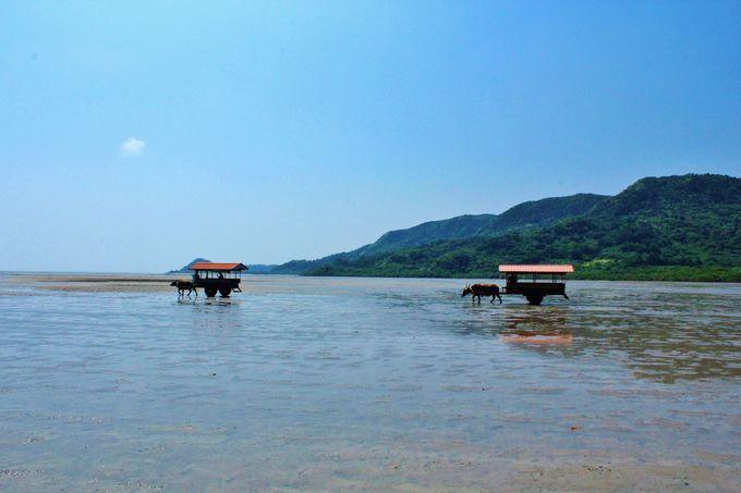 亜熱帯植物の楽園、由布島へと渡る水牛車