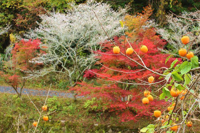 小原の四季桜とは?
