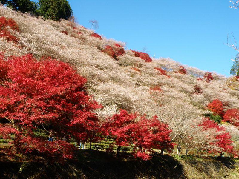マツケンも絶賛!愛知・小原の「四季桜」と紅葉の共演がモノスゴい!