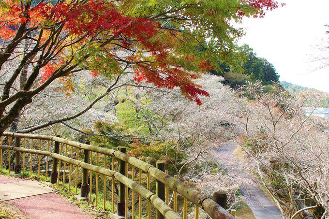 「小原四季桜まつり」へ行こう!