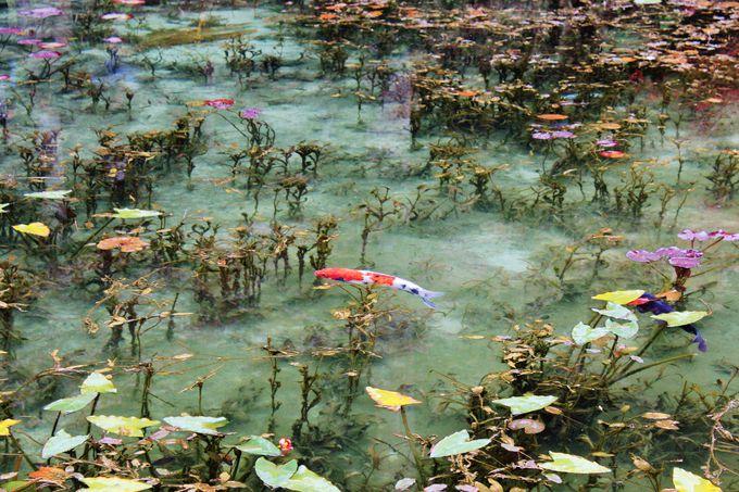「モネの池」は鯉が浮いているかのような透明度