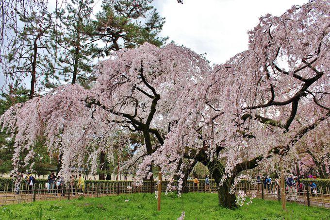京都の春を告げる旧近衛邸宅跡の枝垂れ桜