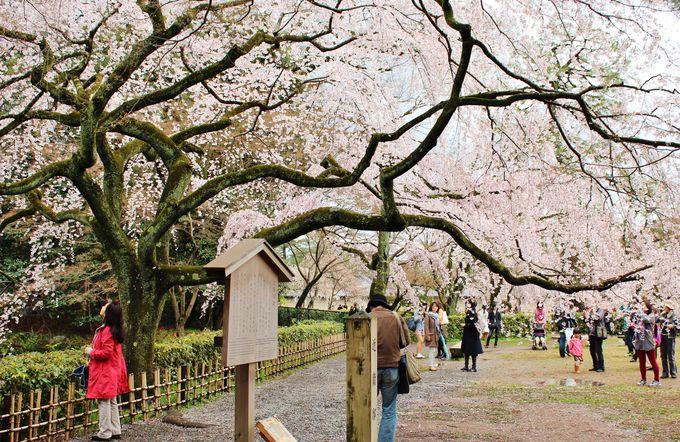 早いだけでなく、長く楽しめる旧近衛邸宅跡の糸桜